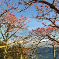 Mùa hoa ngô đồng Cù Lao Chàm1