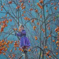 49. Du lịch mùa hồng trĩu quả Mộc Châu1